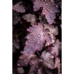 Purple Rain. ❤ liked on Polyvore featuring backgrounds and leaves