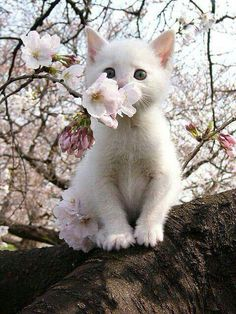 Beautiful white kitten smelling cherry blossoms... can anything be sweeter?
