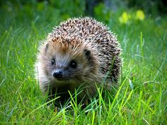 You can still find these guys in Finland. They hibernate just like bears. Hedgehog Pet, Cute Hedgehog, Lovely Creatures, Wild Creatures, Animals And Pets, Cute Animals, Cute T Rex, British Wildlife, Cute Animal Pictures