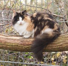 Norwegische Waldkatze Pretty Cats, Beautiful Cats, Animals And Pets, Cute Animals, Fancy Cats, Siberian Cat, Norwegian Forest Cat, Cat Feeding, Maine Coon Cats