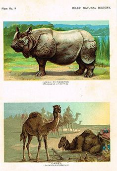 """Miles's Natural History - """"Indian Rhinoceros & Camel"""" - Chromolithograph - 1895"""
