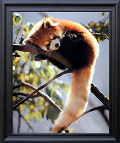 This framed poster will help to bring a nice change your living room or entryway which enhance your decor and add a style into your home. This framed poster captures the image of red panda sleeping on a tree branch looking very adorable is sure to grab lot of attention. Its wonderful barn wood frame accentuates the poster mild tone. The frame is made from solid wood measuring 19x23 inches with a smooth gesso finish. This framed poster includes a wire hanger on the back for easy display.