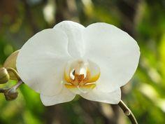 Orquídea no Miraflores - Laranjeiras