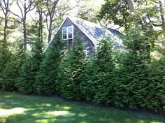 Thuja Green Giant Tree - Curb Appeal Landscaping: 10 Fast-Growing Plants for an Instantly Better Yard - Bob Vila Shrubs For Privacy, Privacy Trees, Privacy Landscaping, Landscaping Ideas, Privacy Hedge, Fence Trees, Fast Growing Privacy Shrubs, Best Trees For Privacy, Garden Landscaping