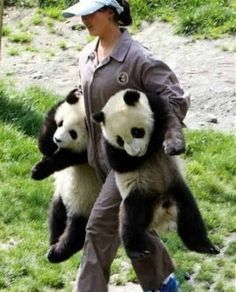 I want this Job Panda #Panda @Morgan Berg bahahaha, i imagine this to be baijng and miss james if she was a panda