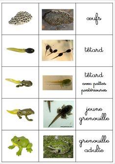 """Résultat de recherche d'images pour """"projet grenouille maternelle"""""""