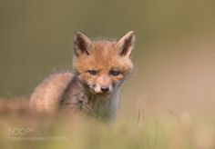 Fox cub by darkshooter11