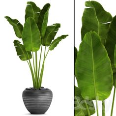 Add Banana leafs in potted plants to outdoor patio to bring in more color Add Banana leafs in potted House Plants Decor, Patio Plants, Cool Plants, Outdoor Plants, Potted Trees Patio, Palm House Plants, Aloevera Plante, Potted Palms, Indoor Palms