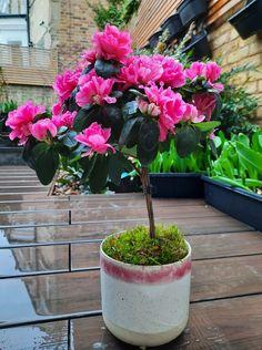 Outdoor Plants, Indoor Outdoor, Houseplant, Topiary, The Fresh, Succulents, Bloom, Gardening, Tips