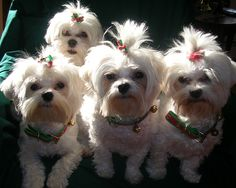 My 4 Maltese Pups Lacie, Lexie, Sadie and Bentley Wish you Happy Howlidays!