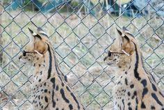 I've decided 2 recruit the servals @ the Conservators' Center 2 B my body guards - my Secret Serval Agents.    www.arthur4prez.com — at Conservators' Center Inc.