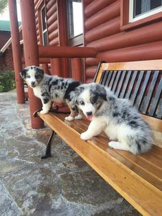 Australian Shepherd puppies sitting on a bench. Very cute picture of one of the smartest dog breeds. Colorful merle aussie puppies taking a picture. Australian shepherds are great family working dogs.