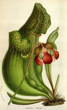 Sarracenia purpurea by Louis van Houtte, from Flore de Serres et des Jardins de l'Europe (Flowers of the Greenhouses and Gardens of Europe)