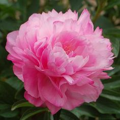Joker Peony   Peony Joker care instructions: follow the directions provided in our ...