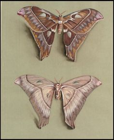 25+ Free Butterflies and Moths Vintage Printable Images