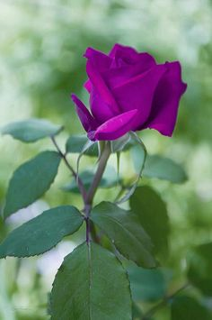 Beautiful Flowers Wallpapers, Beautiful Roses, Beautiful Gardens, Exotic Flowers, Pretty Flowers, Rose Vase, Morning Flowers, Purple Roses, Flower Pictures
