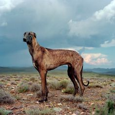 z- Persian Greyhound