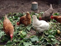 Which #herbs are beneficial for the #health of #chickens.List of some common types of herbs.