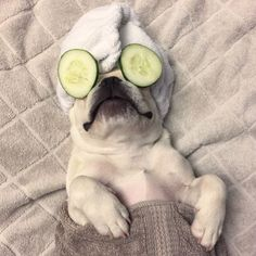 """I need a spa day more often"",  Pampered French Bulldog,"