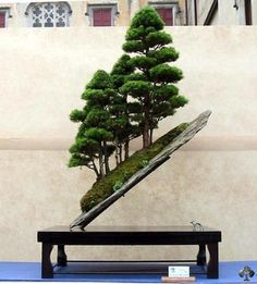 Spectacular and very unique display. Slanting Juniper composition, forest style. Picture by Peter Ebensperger.