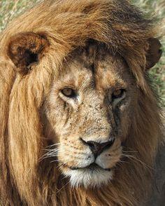 Simba  #myfssafari