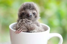 Le plus mignon des Bébés Paresseux a été sauvé au Costa Rica (4)