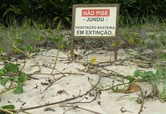 Programa permite expansão da área de jundu na Praia da Enseada Trata-se de vegetação de grande importância para preservação das praias. Em quatro anos, medidas promoveram o aumento em 18,05%   http://www.oredesocial.com.br/programa-permite-expans%C3%A3o-da-%C3%A1rea-de-jundu-na-praia-da-enseada.html