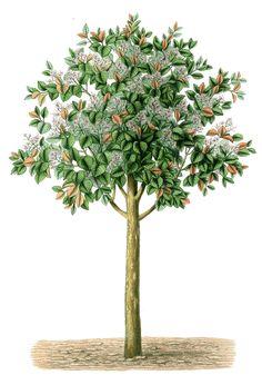 Antique clip art beautiful tree botanical illustration free vintage image charming tree altavistaventures Gallery