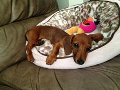 "Discover additional relevant information on ""dachshund pups"". Visit our internet site. Dachshund Puppies, Dachshund Love, Baby Puppies, Cute Puppies, Cute Dogs, Chihuahua, Daschund, Dapple Dachshund, Schnauzers"