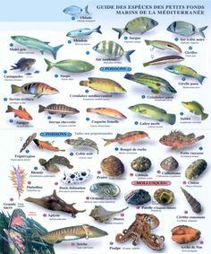 espèces méditerranéennes Fish Chart, Fish Illustration, Sea Slug, Kunst Poster, Deep Blue Sea, Rare Animals, Sea Fish, Florida Travel, Ocean Life