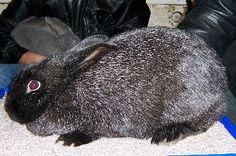 Rare Heritage breed rabbits - Silver Fox - in Missouri