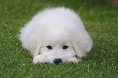 great pyrenees | check out breeds related to the great pyrenees akita alaskan husky ...