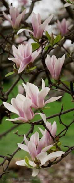 Saucer Magnolias © 2016 Patty Hankins