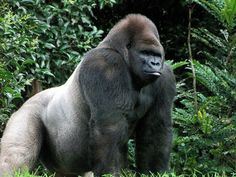 A Majestic Silverback Gorilla Big Gorilla, Primates, Mammals, Animals And Pets, Baby Animals, Wild Animals, Racing Extinction, Silverback Gorilla, Nature