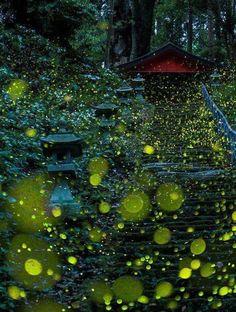 Con el verano en #Japon, también llegan las #Luciernagas. Que bonito es verlas volar...