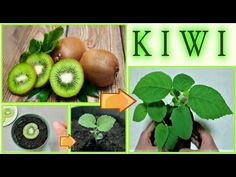 kiwi seedling at no cost from the waste of the fruit KIWI MAP AT ZERO COST from fruit scraps, how to Kiwi Growing, Growing Tree, Regrow Vegetables, Container Gardening Vegetables, Fruit Garden, Vegetable Garden, Natural Garden, Plantar, Plantation