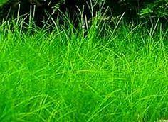 Eleocharis acicularis - Naaldgras - Nadelsimse, zuurstofplant, 10/20 cm, in de vijver planten op diepte 0 tot -50 cm