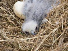 Baby Bald Eagle, Eagle Nest, Golden Eagle, Birds Of Prey, Cute, Bald Eagles, Animals, Image Search, Facebook