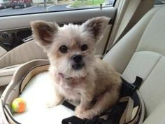 Mildred is an adoptable Pekingese Dog in Alpharetta, GA. Hi! My name is Mildred, but you can call me 'Millie'. I am a 10 year old yorkie/pekingese mix. My foster mommy says that I move slow like molas...