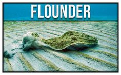 Find out the best rods and reels for Flounder. Catch more Flounder by getting expert tips from Guy Harvey's Online Fisherman Staff. Fishing 101, Surf Fishing, Fishing Stuff, Fishing Gifts, Salt Water Fish, Salt And Water, Fish Chart, Sand Fleas, Bait Caster