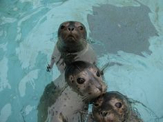 a trio of seals