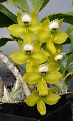 Orchid: Cycnoches warscewiczii 'SVO Swan' - Sunset Valley Orchids