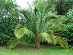 Beccariophoenix madagascariensis, commonly known as the Giant Windowpane Palm or Windowpane Coconut, is a species of flowering plant in the Arecaceae family. It is a large Coconut relative that is endangered in its habitat in Madagascar.