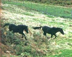 The asturcón. Horse of Asturias Asturian, Pony, Freedom, Horses, Times, Eat, Natural, Children, Simple