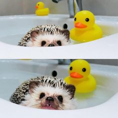 Cut Animals, Cute Baby Animals, Animals And Pets, Funny Animals, Happy Hedgehog, Cute Hedgehog, Mundo Animal, My Animal, Hamsters