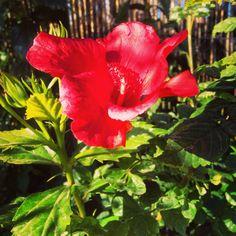 De hibiscus in onze tuin bloeit al weer in februari...we hebben ze in verschillende kleuren. #rood
