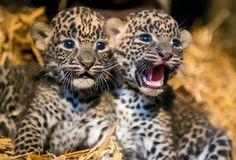 Filhotes fêmeas de leopardo-do-Ceilão, que nasceram 1º de julho, descansam em jaula do zoológico de Maubeuge, na França; a espécie está ameaçada com estimativas de 700 vivendo no meio selvagem e 65 em cativeiro. Foto: Philippe Huguen/AFP