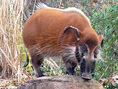 Red River Hog, Caracal Cat, West Africa, African, Cats, Animals, Image, Gatos, Animales