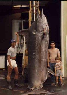 Largest marlin ever caught. 17 feet long, weighing 1,656 pounds.    Kona, Hawaii- 1984