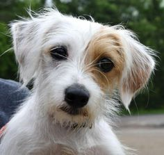 Wire Hair Jack Russell Terrier Named Crumpet So Cute It